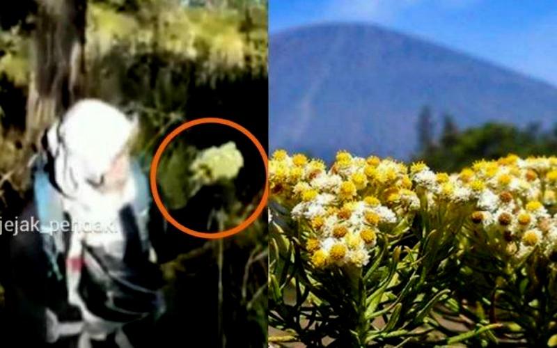 Pemetik Edelweiss di Gunung Lawu Diblacklist Lima Tahun