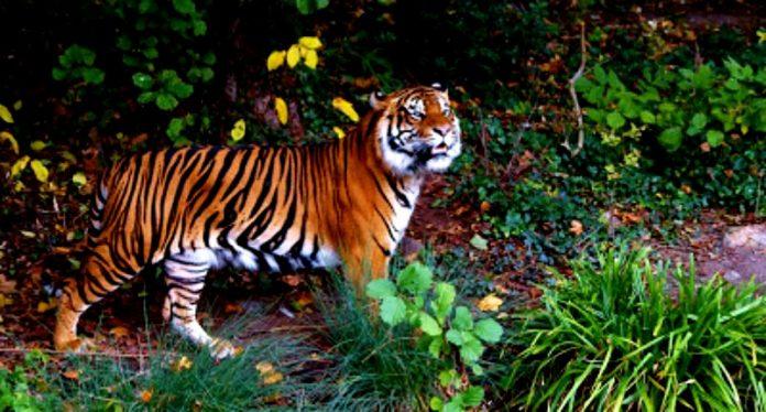 Harimau Berkeliaran, Pendakian Gunung Sibayak Ditutup
